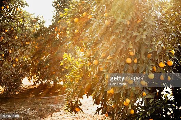 Sunlight dappled orange trees in a grove