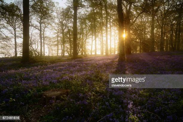 Sunlight enters the bluebell forest in Norfolk / England.