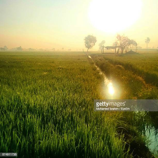 Sunlight Falling On Crops Growing On Farm During Sunrise