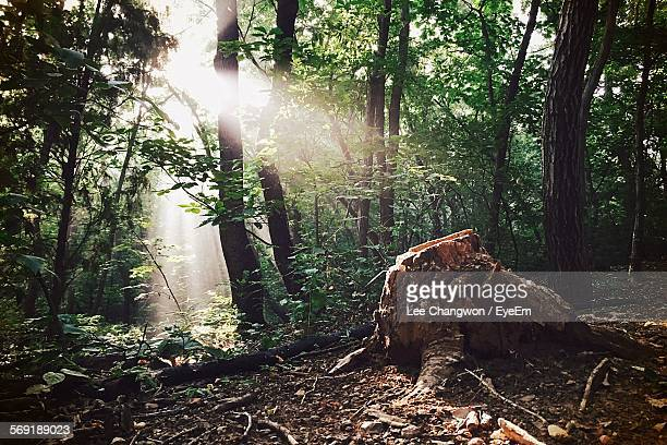 Sunlight falling on tree stump in forest