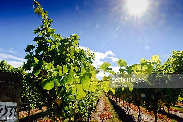 Sunlight falls on Terra Vitae Seddon Vineyards in the Awatere Valley Marlborough New Zealand on Wednesday April 14 2010 New Zealand's 2010 grape...