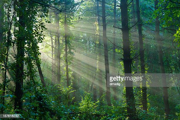 Sunlight Filtering Through a Foggy Forest in Summer