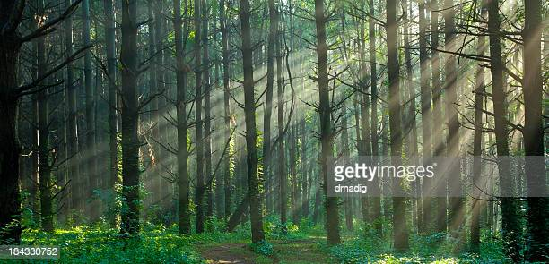 Sunlight Filtering Through a Misty Foggy Forest