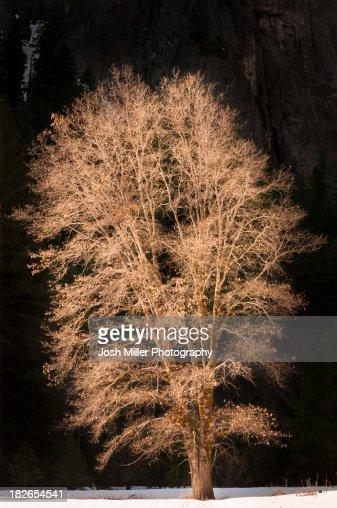Sunlight on oak tree, Yosemite Valley, Yosemite National Park, California : Stock Photo