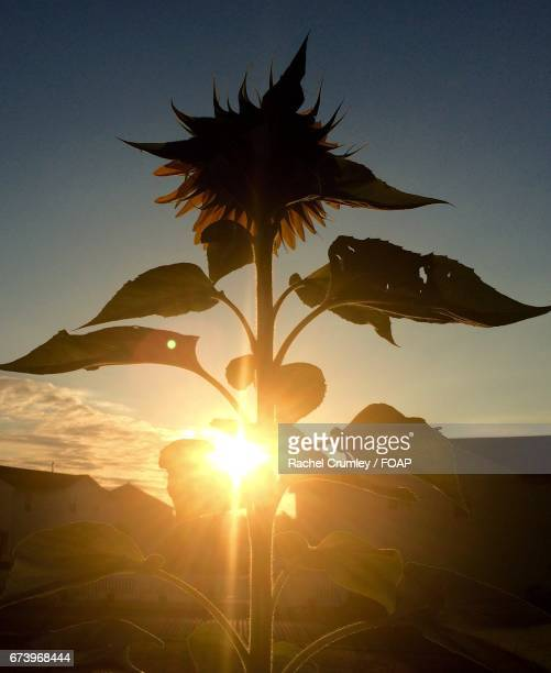 Sunlight on sunflower