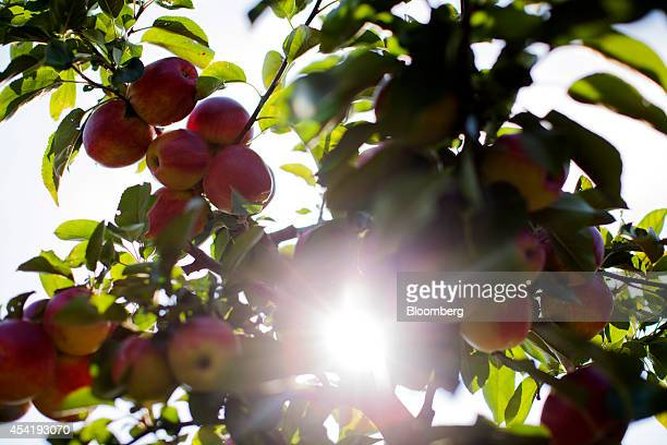 Sunlight shines through the leaves and ripe apples growing on an apple tree during the summer harvest at the Sady Trzebnica z oo apple farm in...