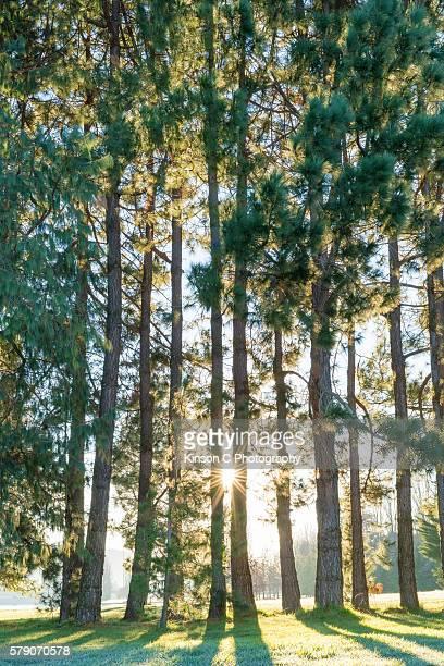 Sunlight Shines Through the Woods At Sunrise