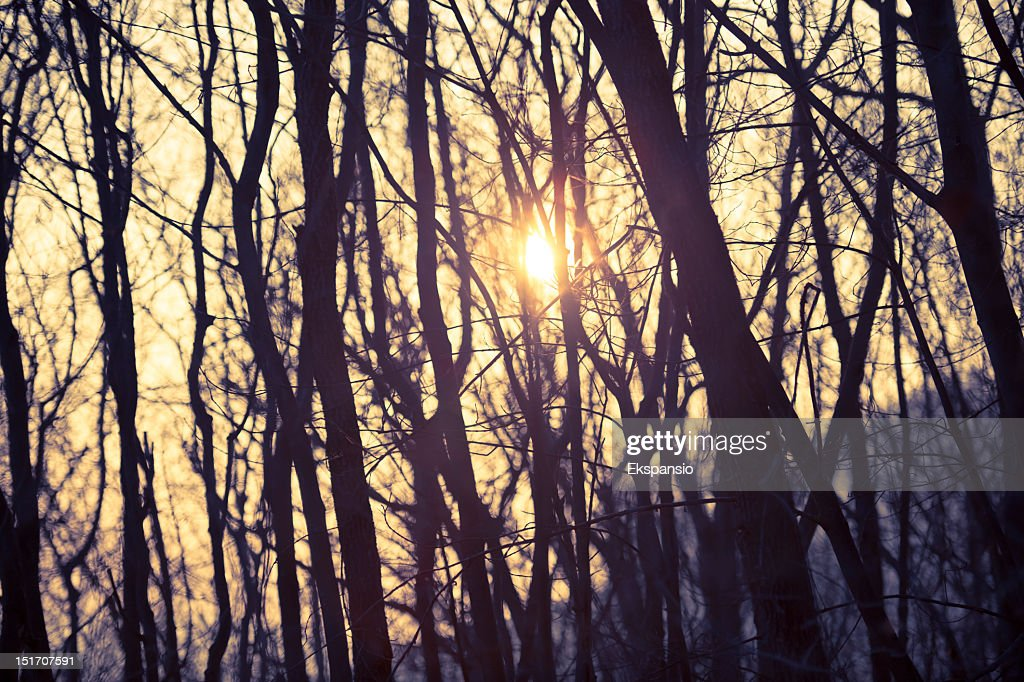 Sunlight Shining Through Bare Trees of Winter Woods