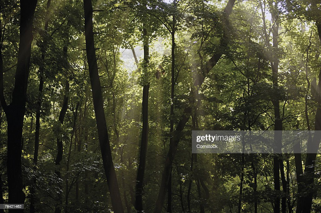 Sunlight shining through forest : Stock Photo