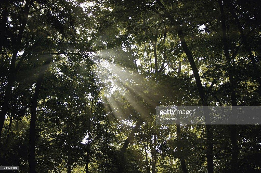 Sunlight shining through forest : Stock Photo