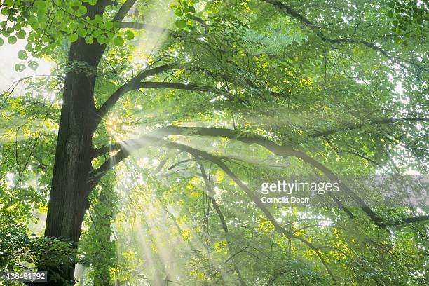 Sunlight shining through tree