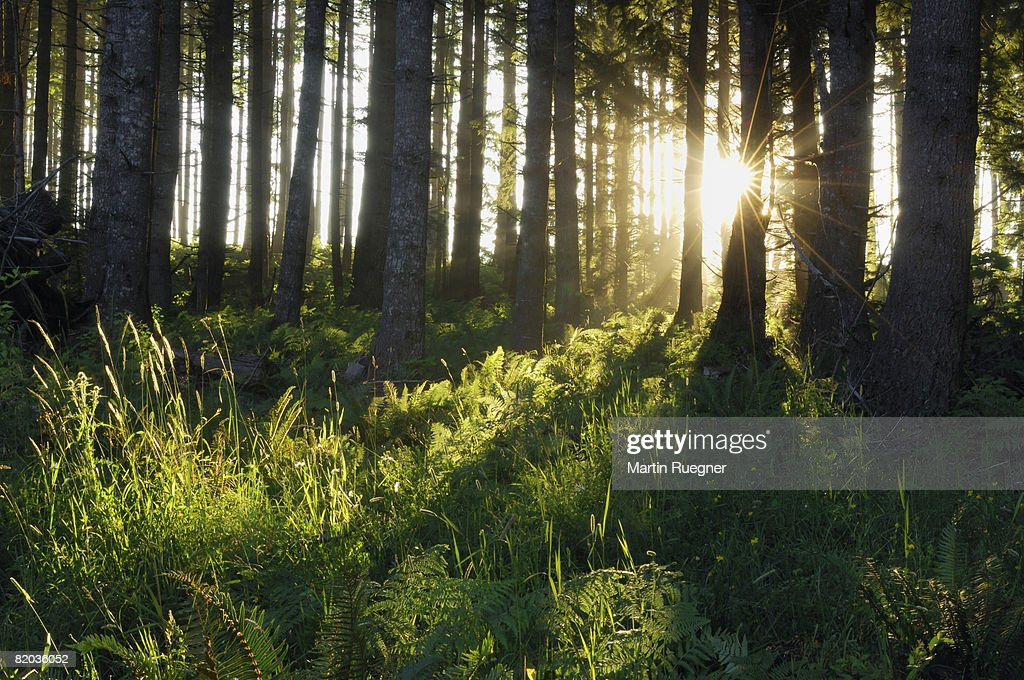 Sunlight shining through trees in the forest, sunbeams. : Stock Photo
