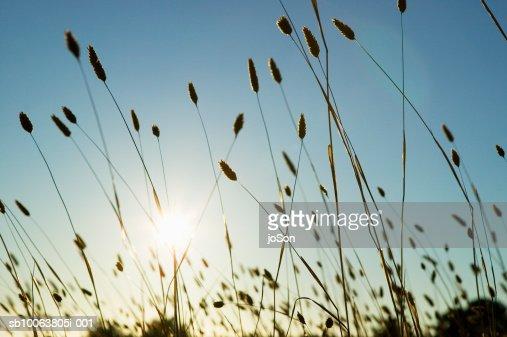 Sunlight shining through wild grass : Photo