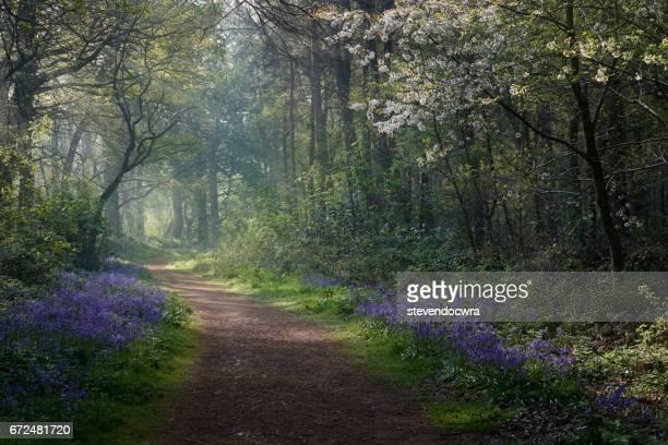 Sunlight spills into the Bluebell woodland