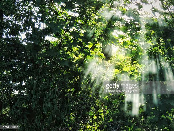 Sunlight Streaming Through Trees