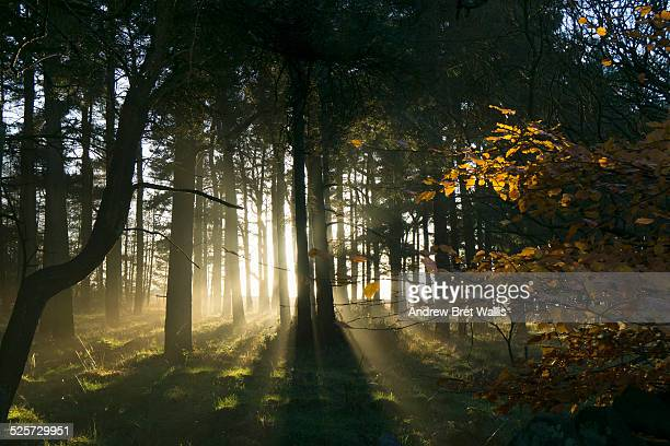 Sunlight through Autumn woodland
