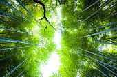 Sunlight through bamboo trees