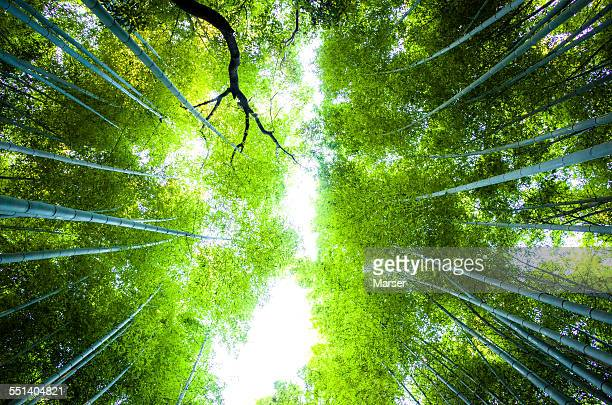 Sunlight through bamboo trees