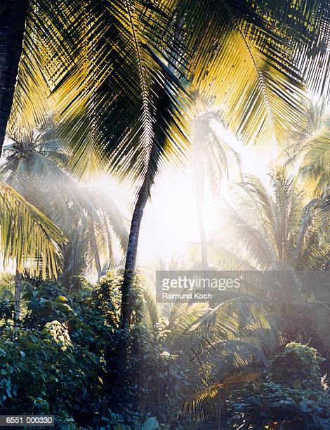 Sunlight through Palms