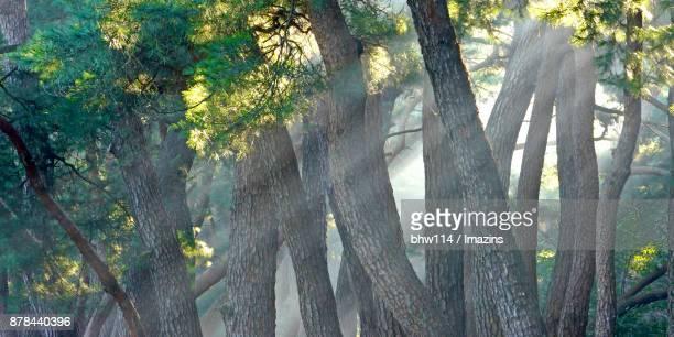 Sunlight through pine tree