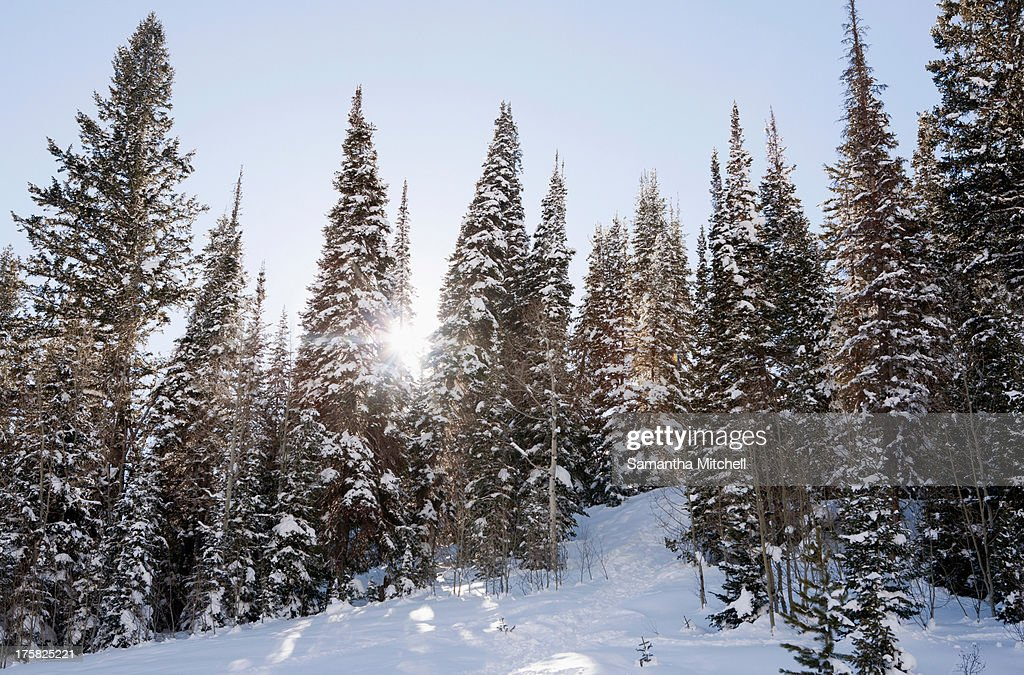 Sunlight through snow covered trees in forest : Stock Photo
