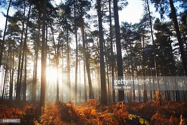 Sunlight through winter forest