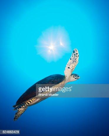 Sunlight Turtle