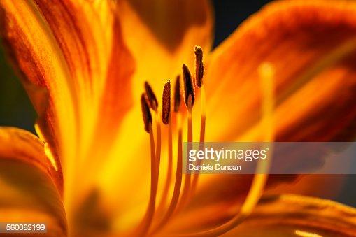 Sunlit daylily