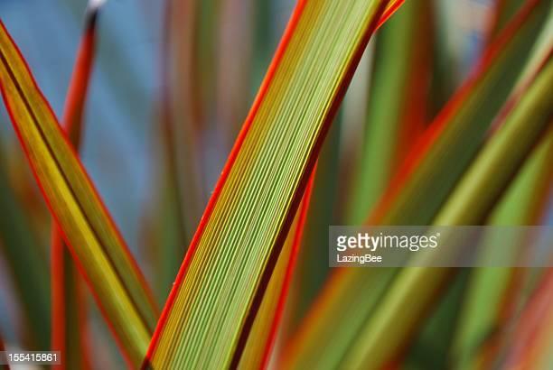 Sunlit 'Maori Queen' Flax (Harakeke)