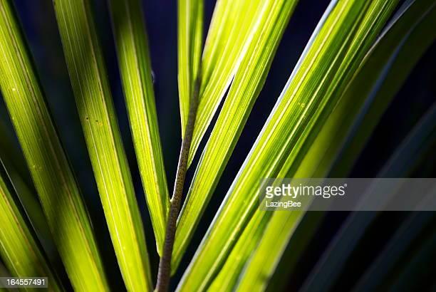 Sunlit Nikau (Rhopalostylis sapida) Palm, New Zealand