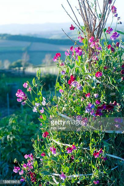 Sunlit Pink and Purple Sweetpeas (Lathyrus odoratus) Growing Up Wigwam Support