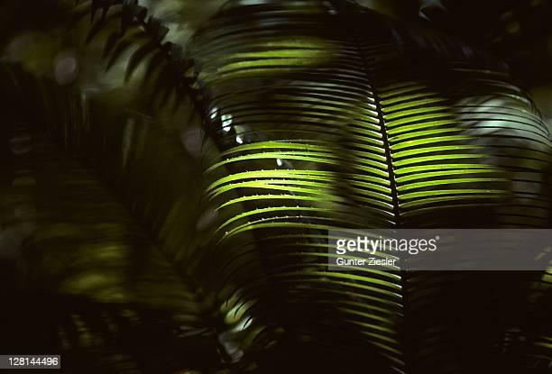 Sunlit Rattan Palm leaves in swamp forest, Kinabatangang, Sabah, Borneo, Malaysia