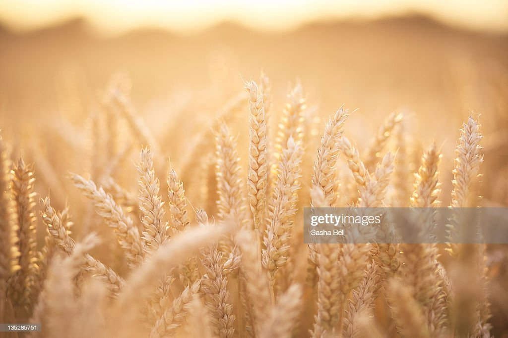 Sunlit wheat field