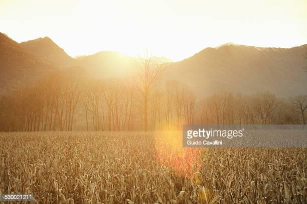 Sunlit wheat field, Premosello, Verbania, Piemonte, Italy