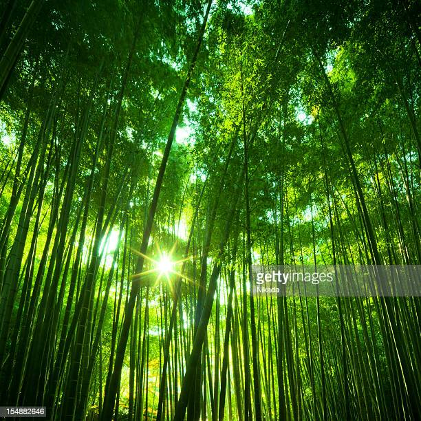 Sunny Bamboo Forest