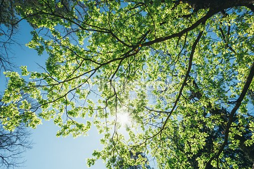 Sunny canopy of tall trees sunlight in deciduous forest for Canopy of trees