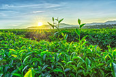 Early sun on a tea plantation with young tea leaves reaching their early dew, sun radiating rays distance to greet new day on the plateau in Vietnam