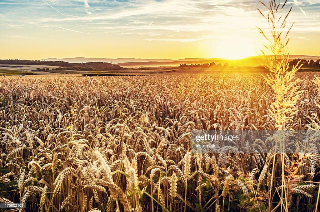 Sunny evening grainfield
