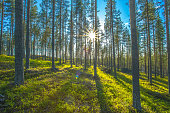 Sunny forest view from Sotkamo, Finland.