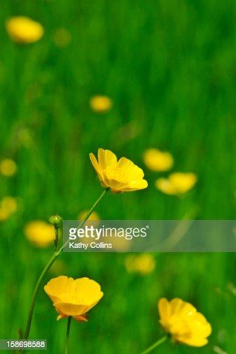 Sunny meadow buttercups amongst green grass : Stock Photo
