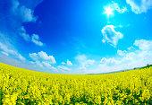 Sunny rape field - fisheye landscape