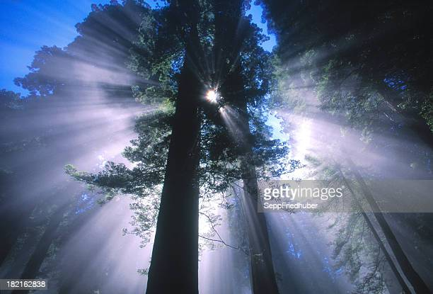 Sunray behind a redwood tree California