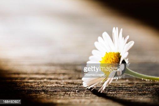 Sunray on Flower - Daisy Nature Poem Postcard