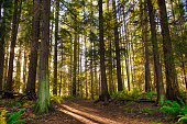 Sunrays filtering thru the forest foliage in a Vancouver Island provincial park, British Columbia, Canada