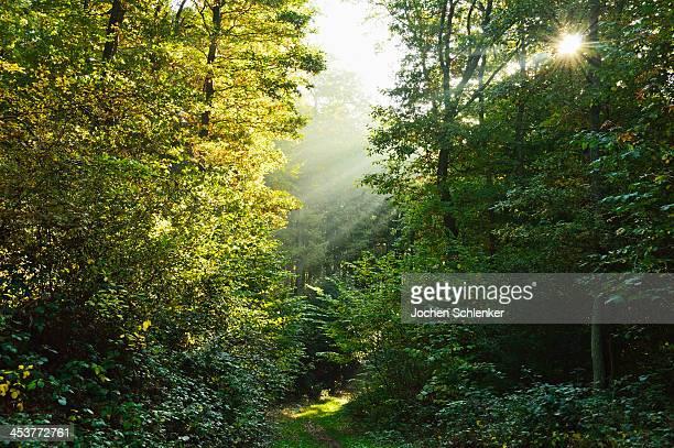 Sunrays in forest, Hunsrueck