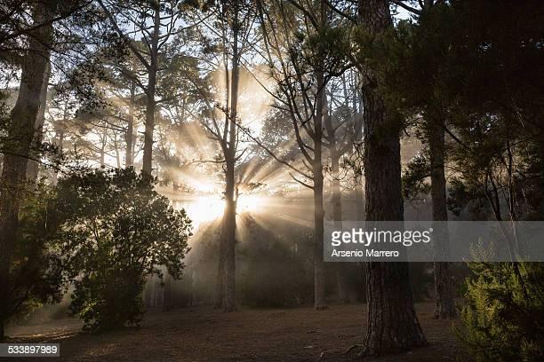 Sunrays through treetops in Tenerife