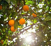 sun-ripened oranges on a tree, Rome, Italy