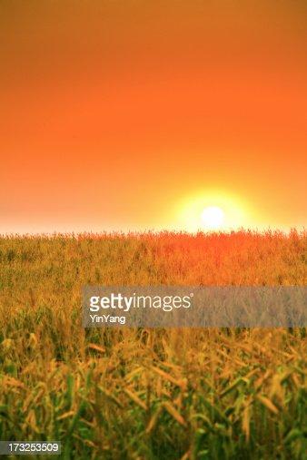 夜明けとともに、中西部の田舎のトウモロコシフィールド