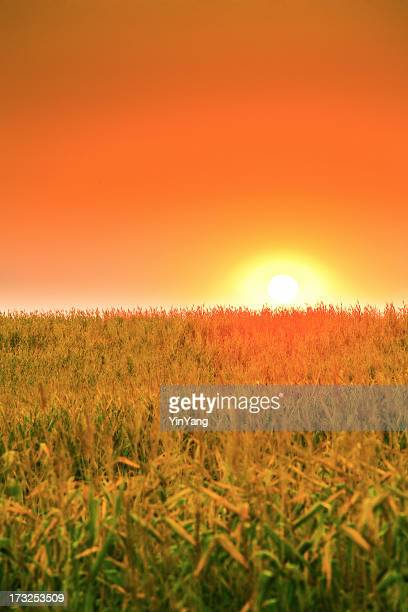Sunrise Dawn Over Midwest Rural Corn Field