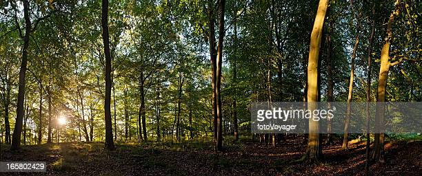Sunrise in tranquil summer woodland vibrant green forest foliage